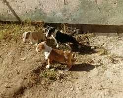 Bull Terrier con Fca