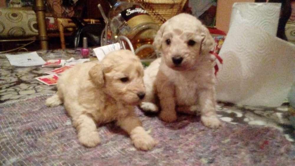 Vendo Cachorros Macho Caniche Mediano.