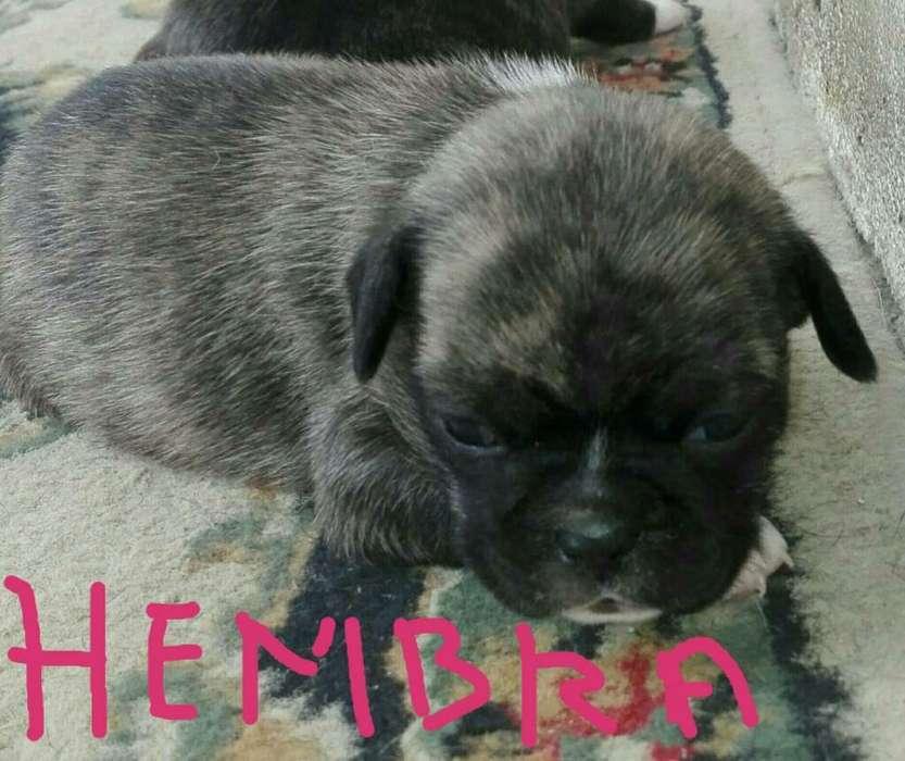 Bebes Pug