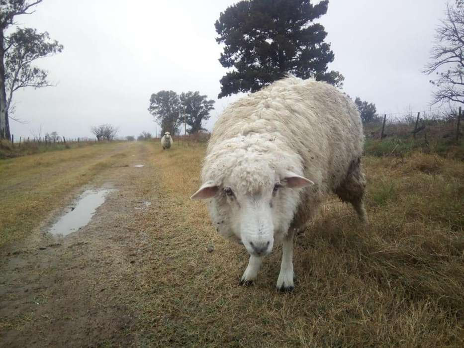 Vendo 3 ovejas jovenes