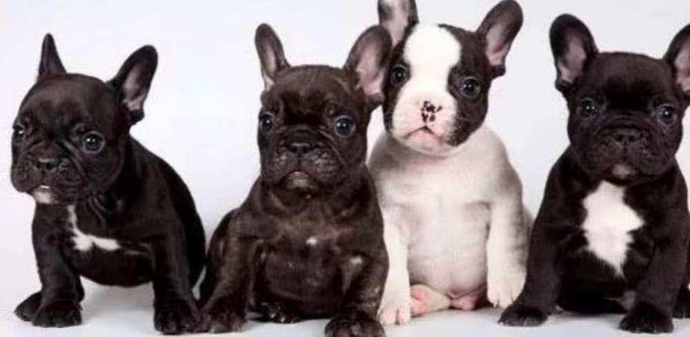 Preciosos <strong>bulldog</strong> Frances Brindle