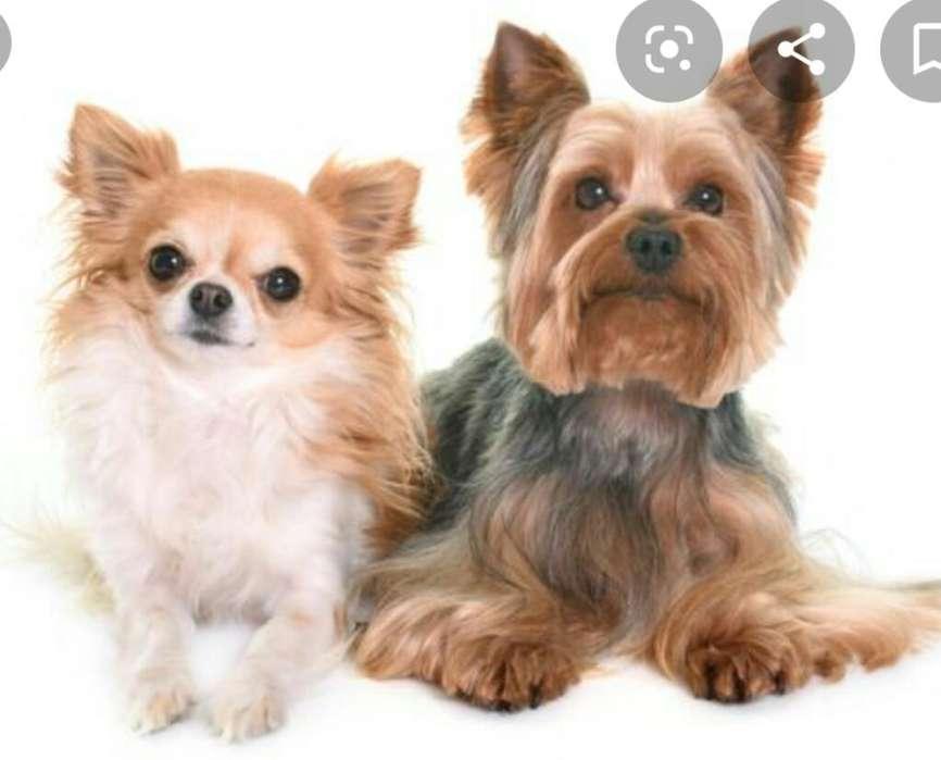 Se Cuidan <strong>perros</strong> de Raza Pequeña