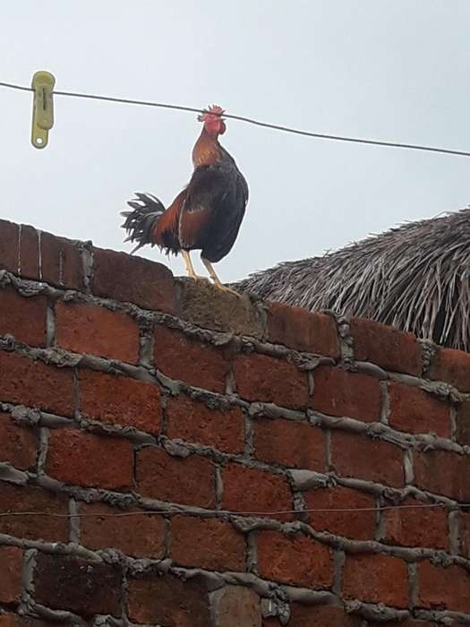 Vendo Pollos de Raza