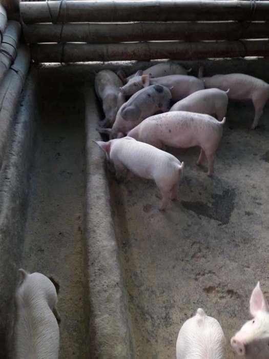Lote de 12 <strong>cerdo</strong>s Destetos