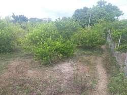 Ganga Vendo Lote con 80 Palos de Limon