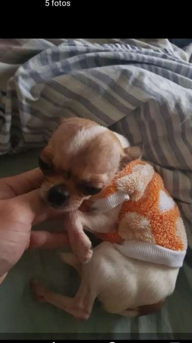Chihuahua MINIATURA REAL, tamaño definitivo, 12 meses, PAPELES FCA.
