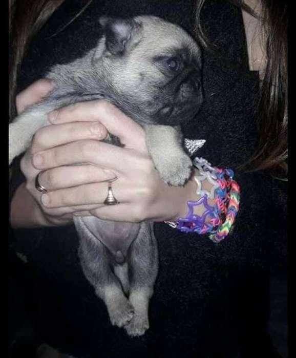 Pug Carlinos!! 155494565