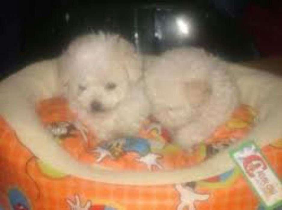 Cachorritos French Poodle Mini Toy Enano