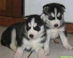 reales cachorras lobas husky
