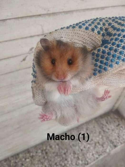 <strong>hamster</strong>s Sirio Angora (pelo Largo)