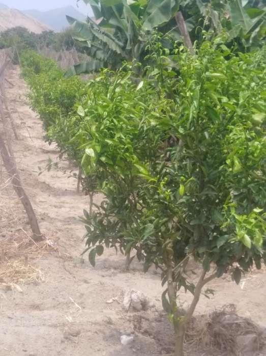 venta de terreno en huaral con plantaciones