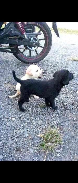 Vendo Cachorros Labradores Machos
