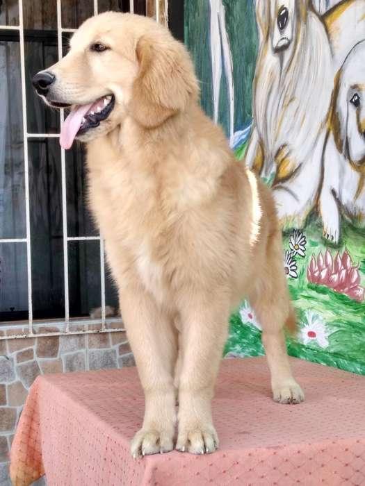 Ofresco Hermoso Cachorro Golden Retrieve