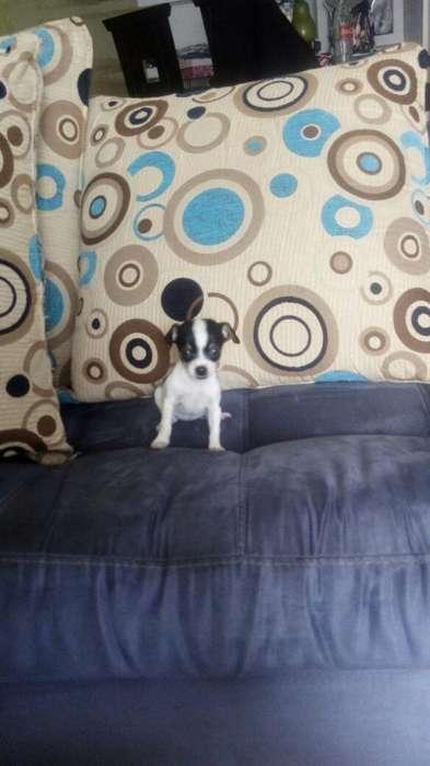 Cachorros Pincher Vaquita Miniatura