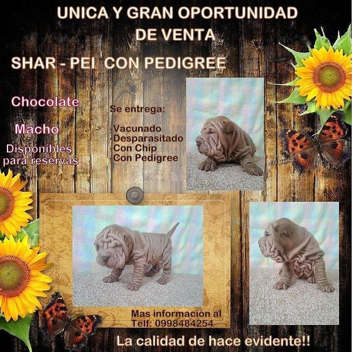 SharPei con registro de Pedigree GIR 2