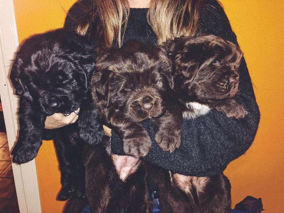 Cachoros Terranova