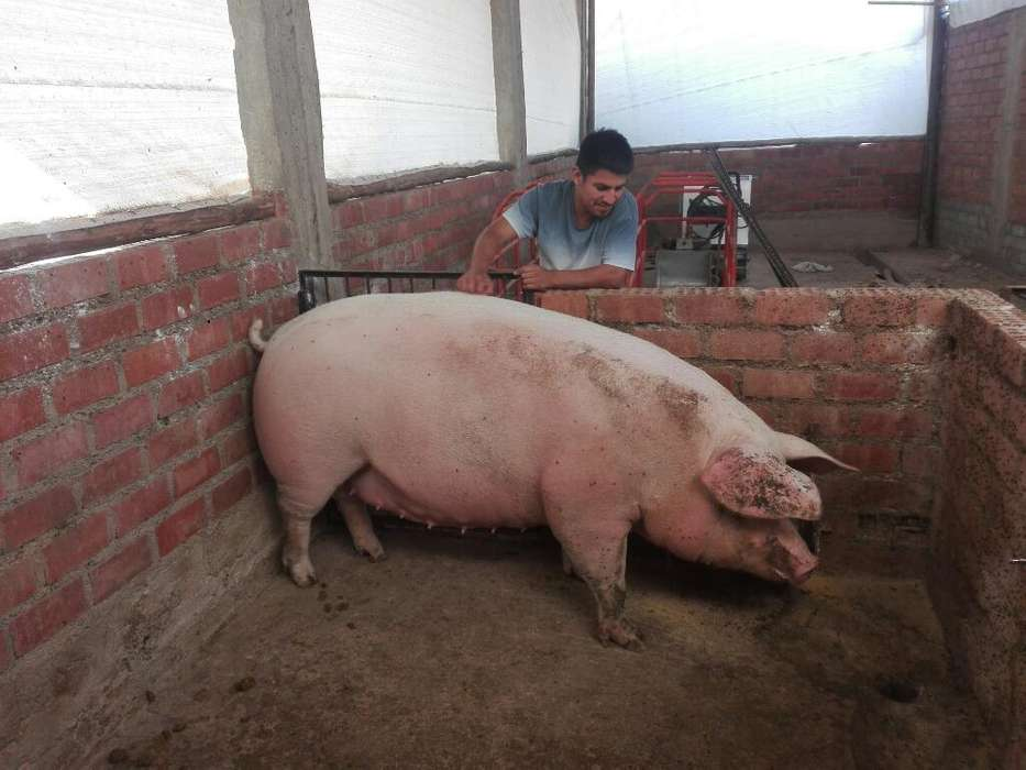 Venta de Cerdoslinea de carne 70,80,90 hasta 300kg