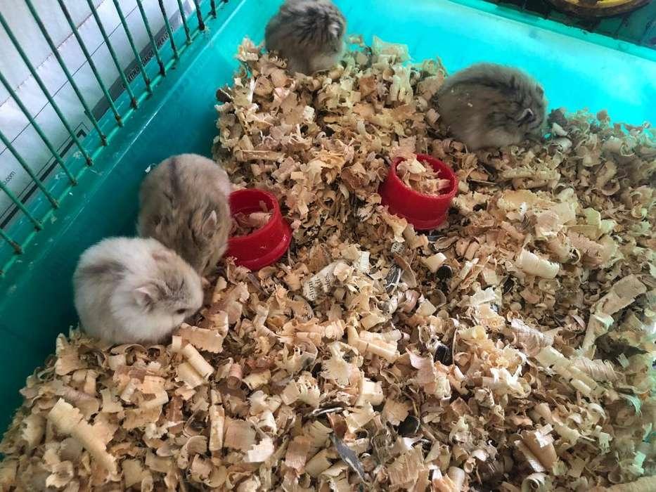 Hamsters rusos exclusivos