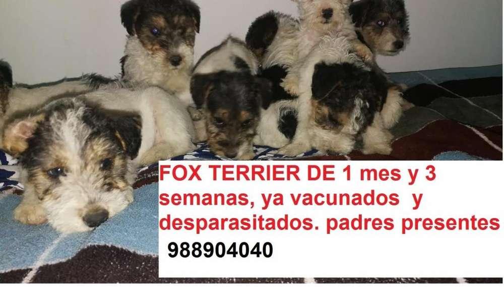 Fox Terrier de 1 mes y 3 semanas, ya vacunados y desparasitados con carnet
