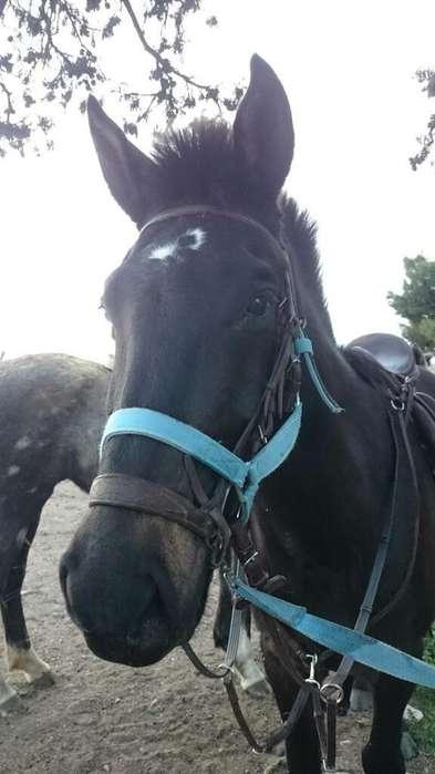 caballo zaino negro