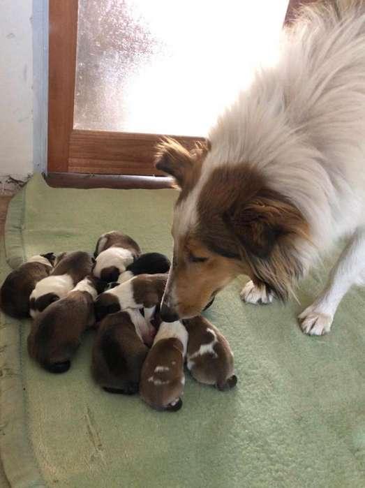 Collie recien nacidos