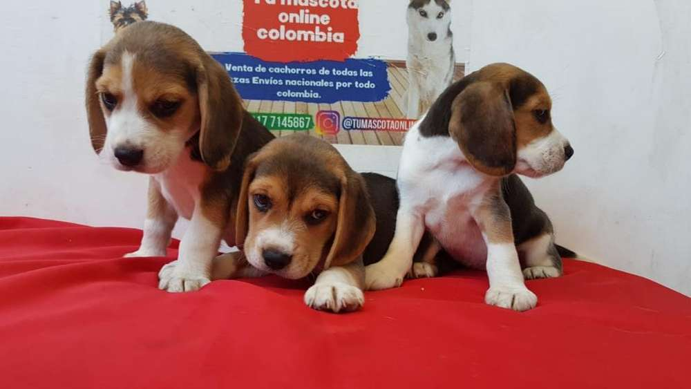 Mini Beagles Tricolor Gorditos