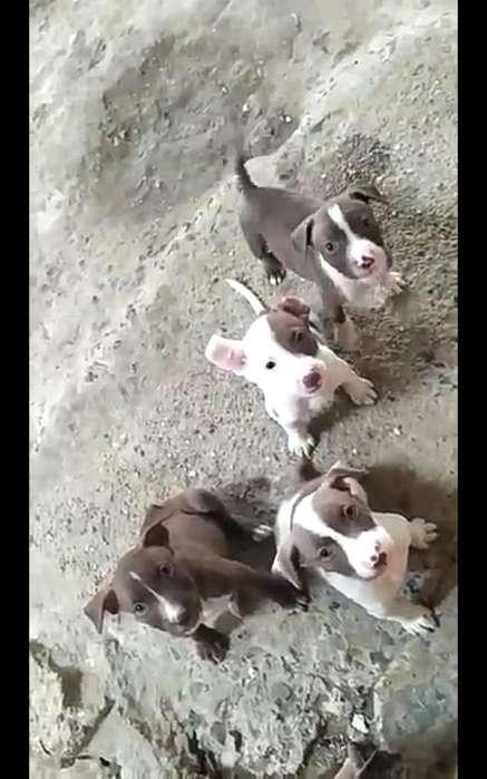 Cachorros Mestizos Hermosos