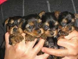 cachorros yorshire <strong>terrier</strong> hermosos envios todo colombia
