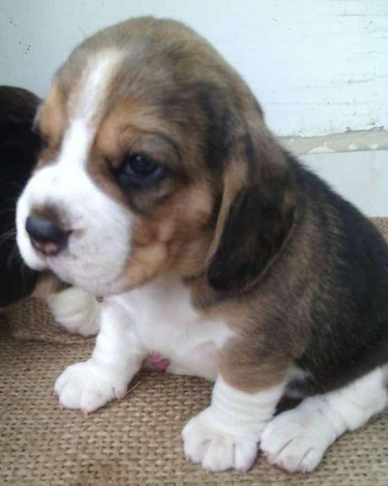beagle tricolor hembras y machos disponibles