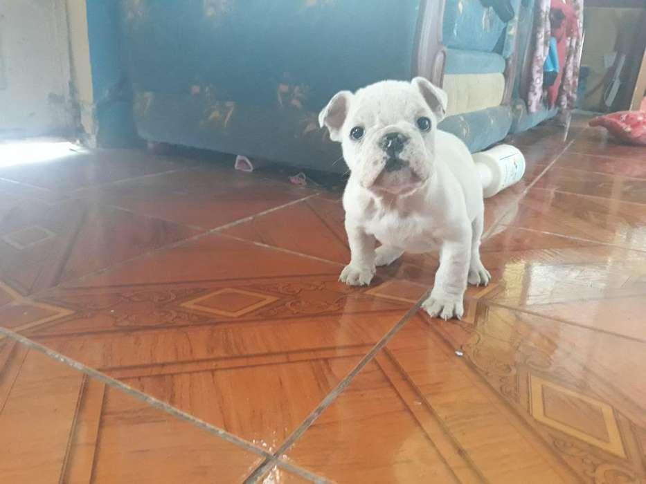 Cachorra Bulldog Ingles Blanca Pura