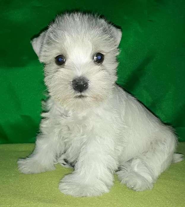 Cachorros Schnauzer blanco, sal pimienta y black&silver