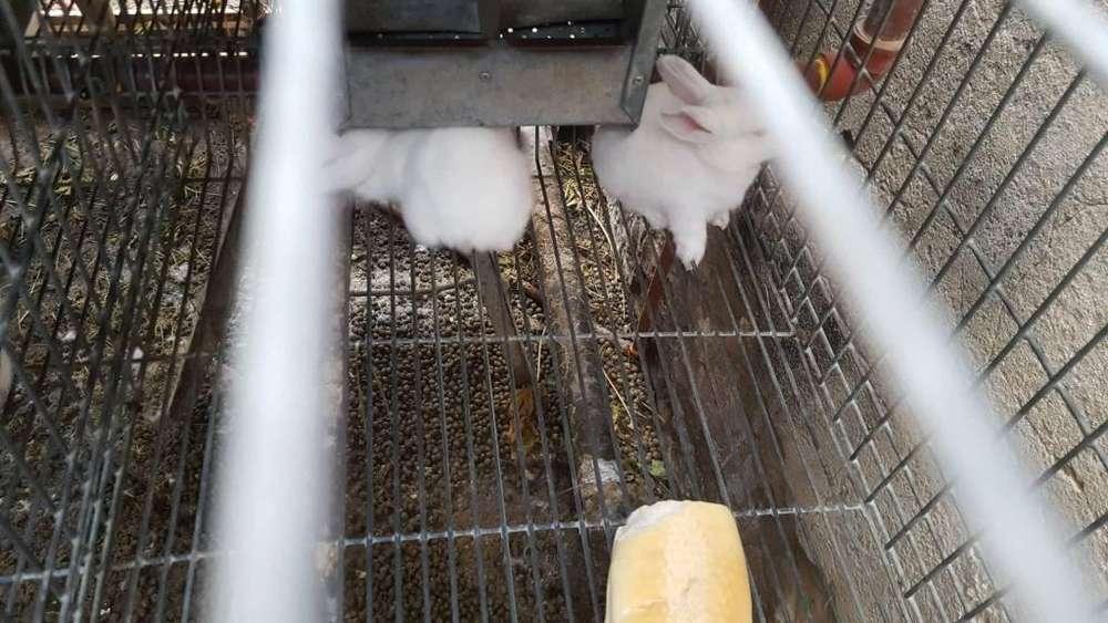 conejos neozelandes californianos