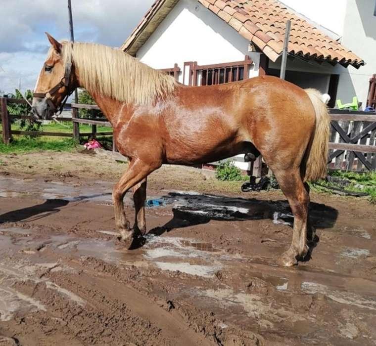 Vendo Hermoso <strong>caballo</strong> Belga Puro