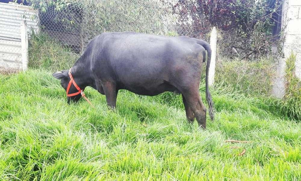 Vendo Hermosa <strong>vaca</strong> Preñada de 8 Meses