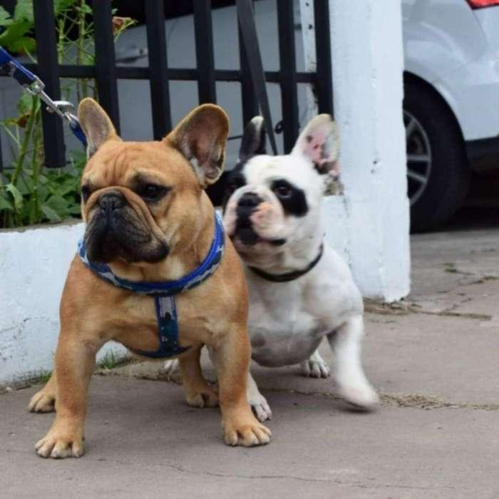 Bulldog Frances Servicio