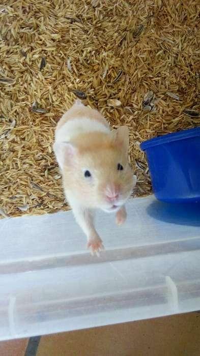 Hamster Comunes