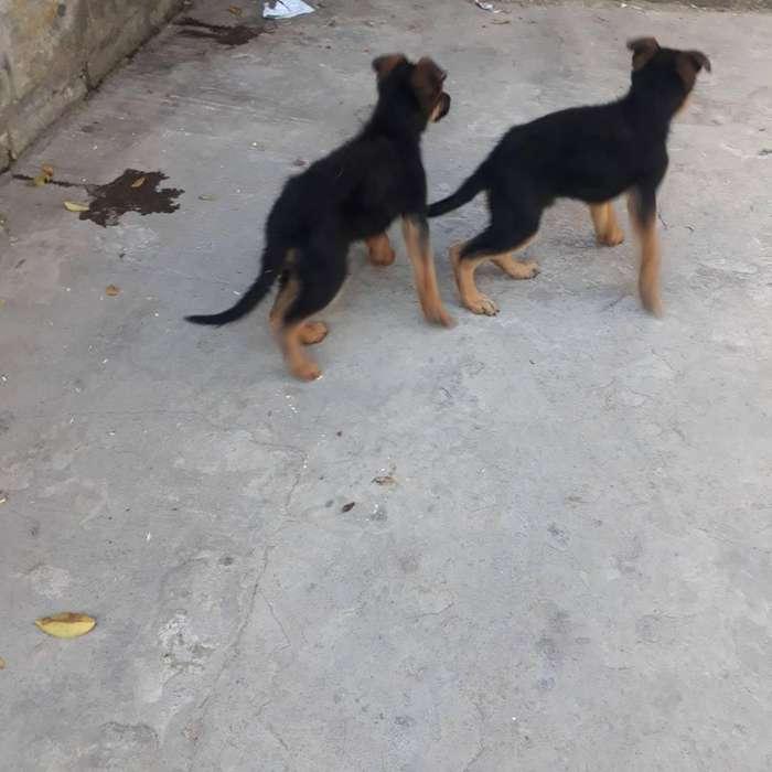 Vendo <strong>cachorro</strong>s pastor alemn