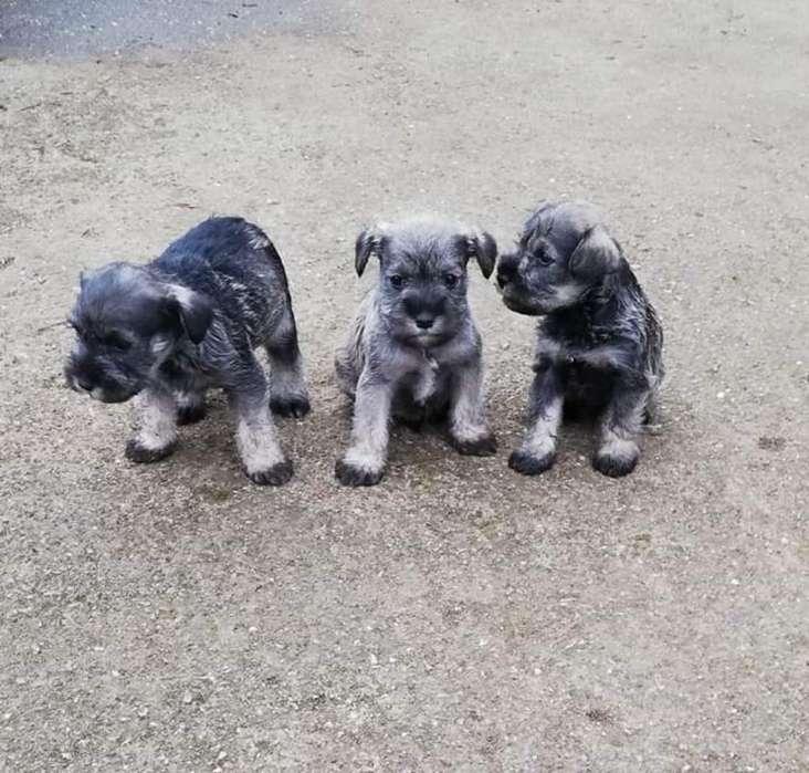 Vendo Cachorritos Schnauzer