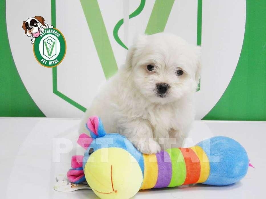 <strong>cachorro</strong>S HERMOSOS BICHON MALTES EN PET VITAL !!!
