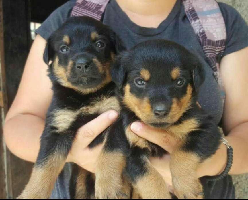 Vendo Excelente Cachorra Rottweiler Hemb