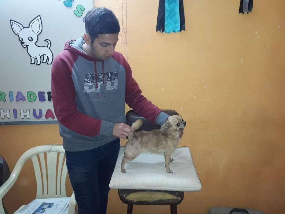 Vendo Chihuahuas Reproductor