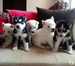 venta de <strong>cachorro</strong>s husky siberiano alta genetica
