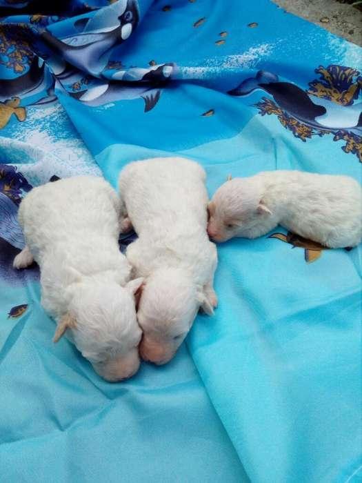 Cachorritos de Mini Toy Poodle