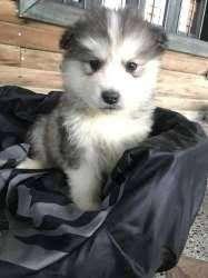 <strong>perro</strong>s cachorros alaska malamute