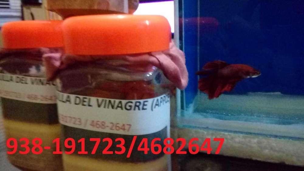 Anguililla del vinagre ( cepas al 100% ) Alimento vivo para alevines vivíparos y ovíparos.