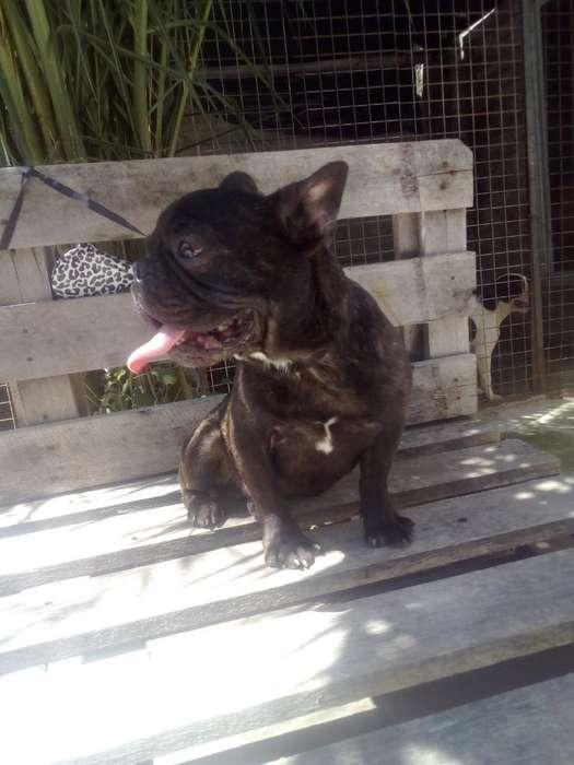 Bulldog Francés en Servicio de Stud Fca