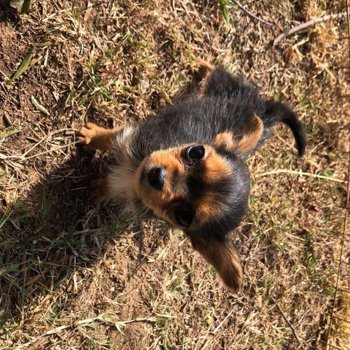 Yorkshire Cruca con Chihuahua