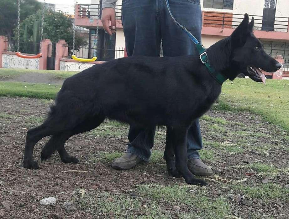 Disponibles Cachorros Pastor Aleman