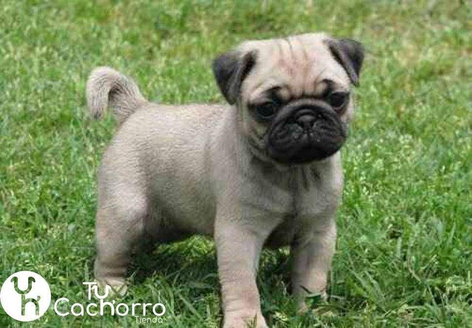 Pug Cachorritos Adorables Que Llenaran Tu Hogar De Alegrias TU CACHORRO TIENDA Sitio Oficial