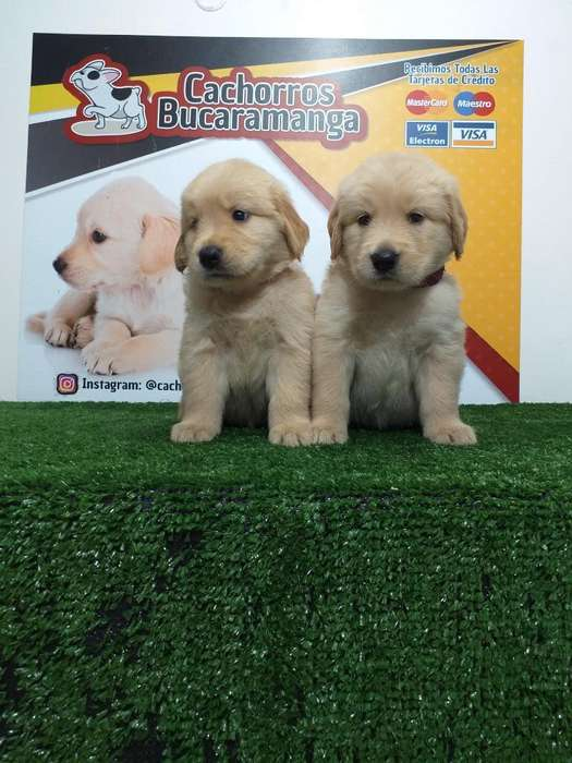 Queridos Golden Retriever